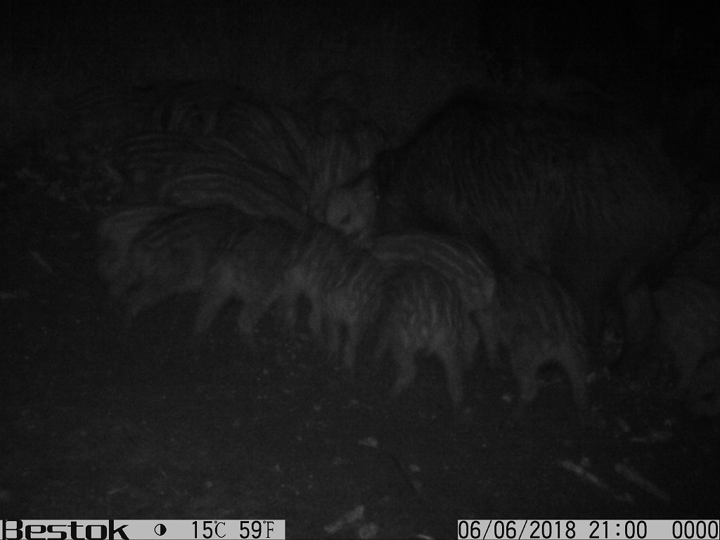 """Divlje svinje u lovištu """"Crnica"""""""